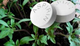 Aspirīns – tautas līdzeklis tomātu stādiem. Tomāti aug veseli, lieli un gardi
