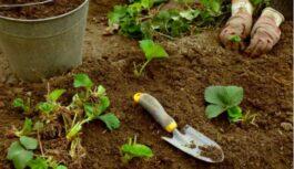 Kā dubultot zemeņu ražu