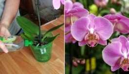 Mēslojums orhidejām. Pāris reizes izmanto un orhidejas zied burvīgi